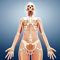 Female Skeleton by Pixologicstudio/science Photo Library