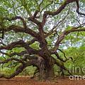 Southern Angel Oak  by Dale Powell