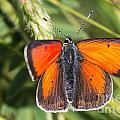 18 Balkan Copper Butterfly by Jivko Nakev