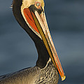Brown Pelican by John Shaw