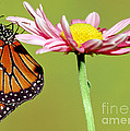Queen Butterfly by Millard H. Sharp