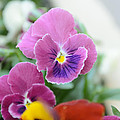 Viola Tricolor Heartsease by Michael Goyberg