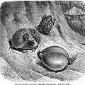 1892 Art Print Animal African Mozambique Rain Flat-face Frog by Gustav Muetzel