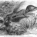 1892 Art Print Engraving Animal Big-headed Turtle By G Muetzel by Gustav Muetzel