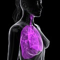 Healthy Lungs by Sciepro/science Photo Library
