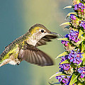 Hummingbird In Flight by Pierre Leclerc Photography