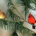 Northern Cardinal (cardinalis Cardinalis by Richard and Susan Day