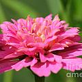 Zinnia From The Candy Mix by J McCombie