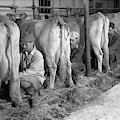1930s 1940s Three Men Hand Milking by Vintage Images