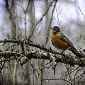 1st Robin Of Spring by LeeAnn McLaneGoetz McLaneGoetzStudioLLCcom