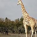 Giraffe by Terry Fleckney