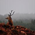 Red Deer Stag by Gavin Macrae