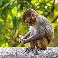 A Baby Macaque Eating An Orange by Dutourdumonde Photography