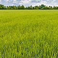 A Field Of Green Wheat Under A Cloudy Sky by Alain De Maximy