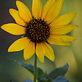 A Sunflower  by Saija  Lehtonen