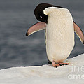 Adelie Penguin by John Shaw