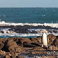Adult Nz Yellow-eyed Penguin Or Hoiho On Shore by Stephan Pietzko