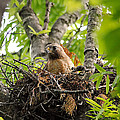 Adult Red Shouldered Hawk by Jai Johnson