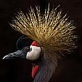 African Crowned Crane by Ernie Echols