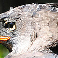 African Crowned Eagle by DiDi Higginbotham