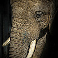 African Elephant by Ernie Echols