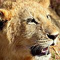 African Lion Cub Portrait by Carole-Anne Fooks
