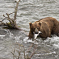 Alaskan Grizzly by Dee Carpenter