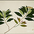 Album Of Drawings Of Plants by British Library