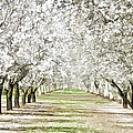 Almond Orchard by Kathleen Gauthier