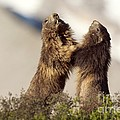 Alpine Marmot by Duncan Shaw