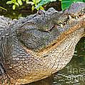 American Alligator by Millard H. Sharp
