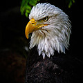 American Bald Eagle by Athena Mckinzie
