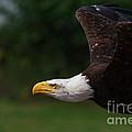 American Bald Eagle In Flight by Nick  Biemans