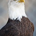 American Bald Eagle by Paulette Thomas