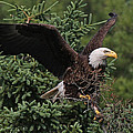 American Bald Eagle by Sharon Fiedler