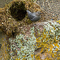 American Dipper And Nest   #1487 by J L Woody Wooden