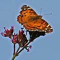 American Lady Butterfly by Karen Adams