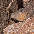 American Pika by Fred Stearns