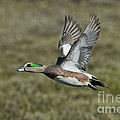 American Wigeon Drake by Anthony Mercieca