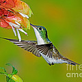 Andean Emerald Hummingbird by Anthony Mercieca