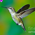 Annas Hummingbird by Anthony Mercieca