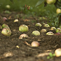 Apple Tree by Dan Radi