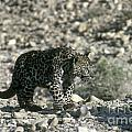Arabian Leopard Panthera Pardus 1 by Eyal Bartov