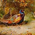 Autumn Covert Pheasants by Archibald Thorburn
