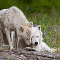 Arctic Wolves by Wolves Only