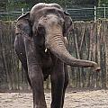 Asian Elephant by Mandy Judson