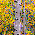Aspen Trees In A Forest, Telluride, San by Panoramic Images
