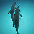 Atlantic Spotted Dolphin Pair Bahamas by Flip Nicklin