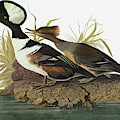 Audubon Merganser by Granger