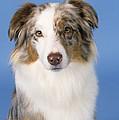 Australian Shepherd Dog by John Daniels